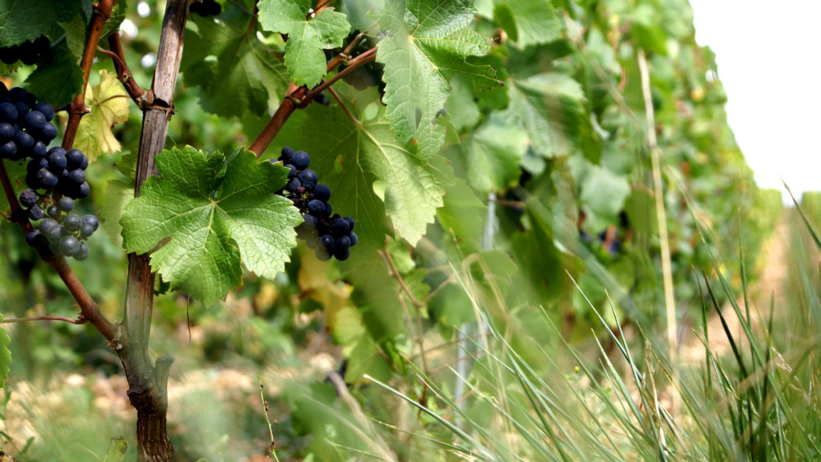 Grappes de raisin sur une vigne