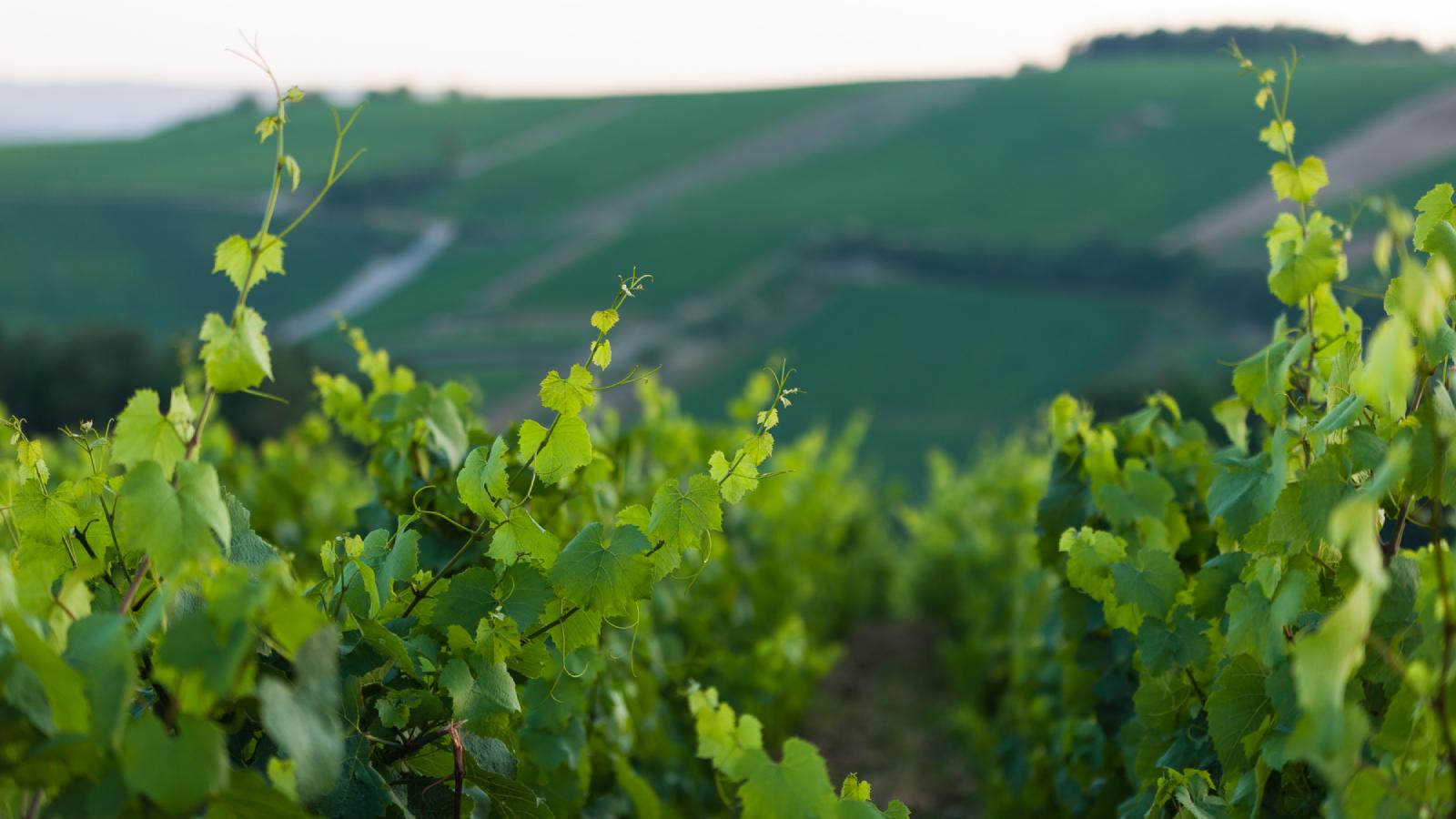 Paysage vignes